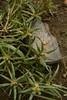 Portulaca pilosa cf (4) (siddarth.machado) Tags: deccanplateau flora rockyoutcrops rocky deccanflora andrapradesh dry plants wild budili deccanplateauflora