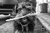 2017_259 (Chilanga Cement) Tags: fuji fujix100f x100t x100f xseries bw blackandwhite monochrome dog puppy pooch whiskers dogsofflickr flickrdogs