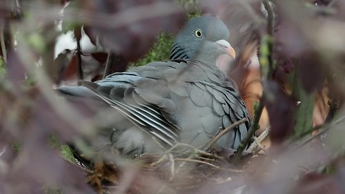 A woodpigeon on its nest