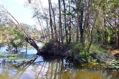 LOX_4048 (Lox Pix) Tags: berrinba queensland qld australia brisbane bridge bird birds turtle pelican wetlands lagoon lake sculpture sulphurcrestedcockatoo duck crane flowers waterdragon lily loxpix loxworx