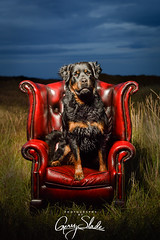 Holme Moss-2 (Photography By Gerry Slade) Tags: rottweiler rottie gerardslade photography best cocker dog dogphotographer dogphotography equine equinephotography fieldsports gerryslade horsephotographer huddersfield lancashire niamh number1dogphotographer number1equinephotographer numberone pet photographer spaniel westyorkshire wwwgerrysladecouk yorkshire