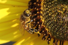Covered in pollen (jlcummins - Washington State) Tags: bee sunflower pollen insect flowers