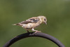 American Goldfinch (molting) (Quincy the Matchmaker) Tags: americangoldfinch molting