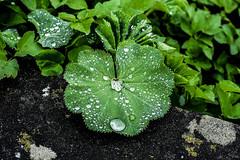 Rainy (azyeF94) Tags: rainy drops regentropfen nature naturephotography nikonphotography flickrnature rainyday photography natur nikondsrluser dropsonly natureshots naturenerds