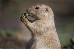 Prairie dog 6 (Darwinsgift) Tags: prairie dog cotswold wildlife park nikon d850 nikkor 200500mm f56 vr af e burford