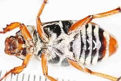 Ancisostroma2017-8-28nrpaNET_6657c (mcclarinj) Tags: ancisostroma scarabaeidae melolonthinae macrodactylini narupa napo ecuador jimmcclarin