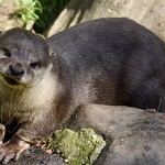 Asian Short Clawed Otter thumbnail
