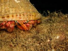 Ermitaño (SergioFresnedaBosch) Tags: cangrejo ermitaño submarinismo naturaleza