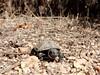 Cistude d'Europe (Maud Douay) Tags: tortue turtle cistude emys orbicularis chelonien reptile herpeto carapace