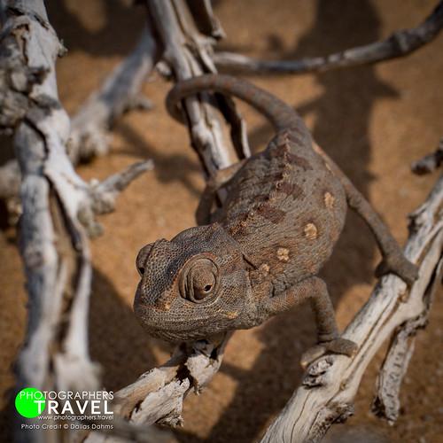 Desert Chameleon - Namibia 2013