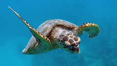 0004. Sea Turtle (Eretmochelys imricata) (__Maestro__) Tags: sea underwater turtle egypt diving scuba freediving fantastic freedom colors nature animal professional ncg travel water blue deep adventure discovery explore love uwphotography
