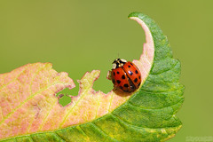 In Deep Thought (Vie Lipowski) Tags: ladybug ladybeetle ladybird insect bug beetle mapleleaf leaf wildlife nature macro
