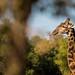 Quiet Giraffe