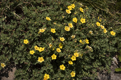 "Shrubby Cinquefoil • <a style=""font-size:0.8em;"" href=""http://www.flickr.com/photos/63501323@N07/35579007233/"" target=""_blank"">View on Flickr</a>"