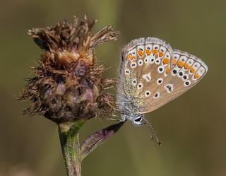 Common Blue female, Bennerley Marsh, Nottinghamshire. DSC_9475.jpg