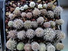 Eriosyce species (ftchbschk) Tags: eriosyce neoporteria neochilenia eriosyceodieri eriosycesenilis eriosycechallensis cactus cacti seedling seeds cactusseeds cactusseedling desert plant plants