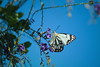 butterfly white (JeffImageAustralia) Tags: butterfly nx1000 white emerald caper