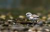 "Seashells (""DEB"") Tags: seashells pipingplover protectedbird plover pipingploverchick d500 nikon200500mm milfordpoint ctbird endangered"