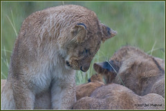 Rainstorm on the Mara 4342 (maguire33@verizon.net) Tags: africa kenya maasaimara cub lion lioncub wildlife riftvalley ke