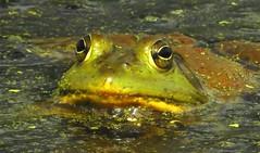 5364ex2  Prince Charming (jjjj56cp) Tags: pondlife frog frogface closeup macro amphibian inthewild glenwoodgardens oh ohio cincinnati p900 jennypansing trailside hiking summer greatparks eyes eyegleam duckweed waterlevel lowangle pond ngc