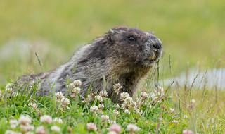 Hoary Marmot (Marmota caligata) - Whistler, BC