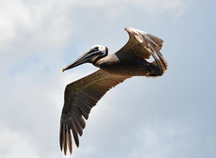 Brown Pelican (npbiffar) Tags: outdoor bird water flight npbiffar pelican brown