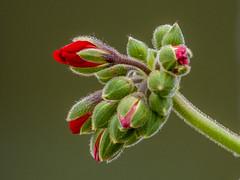 Pelargonium sp. (geranium / geranio) (PriscillaBurcher) Tags: bud pelargonium geranium geraniumbud geranio l1400216