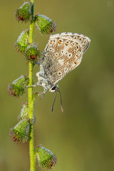 Chalkhill Blue with a covering of dew (Max Thompson Photography) Tags: nature wild wildlife photography chalk hill chalkhill blue butterfly lepidoptera leps bokeh depth light detail canon 5d sigma 150mm macro dew water sunrise early somerset south west england uk plant flower roost