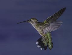 The Nectar Hunter (Bill Gracey 24 Million Views) Tags: nectar hummingbird hummer hummingbirdphotography offcameraflash bareflash paintedbackdrop nature naturalbeauty naturephotography yongnuo yongnuorf603n color colorful colors birdinflight bif annashummingbird calypteanna