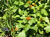 FLbotanicgardens68 (alicia.garbelman) Tags: florida botanicalgardens plants gingerlily