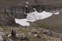 "Bighorn Sheep at Piegan Pass • <a style=""font-size:0.8em;"" href=""http://www.flickr.com/photos/63501323@N07/35885641503/"" target=""_blank"">View on Flickr</a>"