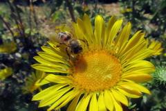 Honey bee on Grindelia (TJ Gehling) Tags: insect hymenoptera bee apidae honeybee apis plant flower asterales asteraceae grindelia fairmontpark elcerrito