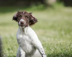Definitely Listening!!! (kitwilliams91) Tags: englishspringerspaniel dog canine puppy alertness cuteness canon5d listening englishspringer spaniel pedigree workinggundog