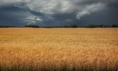 Golden Wheat Field (henriksundholm.com) Tags: tummelsta eskilstuna sverige sweden hdr landscape nature horizon field harvest storm clouds cloudy sky rain raining rainfall vignette trees houses countryside pastoral nikon wideangle wheat wheatfield