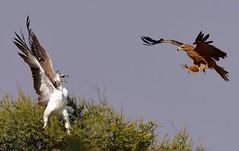 Martial Eagle (Imm) & Tawny Eagle (Ian N. White) Tags: martialeagle polemaetusbellicosus tawnyeagle aquilarapax khutse botswana