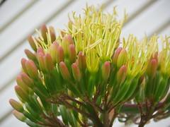 Blooming Century Pland (jeffies.stuff) Tags: flora fawnua cactus blooms summer colorado yellow green littleton jeffsmith
