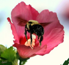 Bees love the  Rose of Sharon (Lynn English) Tags: flower bee pink pollen coth5
