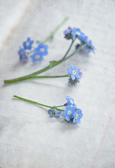 Forgemenots (borealnz) Tags: forgetmenot blue little macro flower book lines writing focus