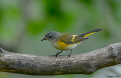 American Redstart (Summerside90) Tags: birds birdwatcher americanredstart august summer backyard garden nature wildlife ontario canada