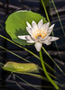 Nymphaea alexii (bric) Tags: flowers kewgardens waterlillies