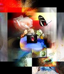 Towards the light (mfuata) Tags: light ışık flight uçuş butterfly kelebek rose gül look bakış world dünya complex karışık color renk harmony armoni