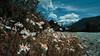 Walk of Life (emiliokuffer) Tags: mountain tronador cerro montaña flores flowers macro wide road camino sendero trail sky cielo clouds nubes day clear regionwide worldwide bariloche cerrotronador color colores colours