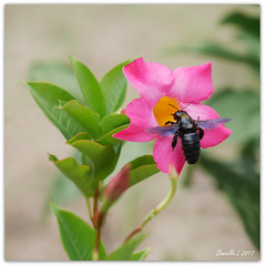 P1360130-001 (daniellelallemand) Tags: abeillecharpentière xylocope