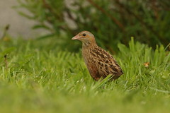 corncrake (simonrowlands) Tags: corncrake crexcrex scottishwildlife outerhebrides crake birds