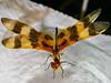 Halloween Pennant (Celithemis eponina) (Wilhelm Guggisberg) Tags: halloweenpennant celithemiseponina