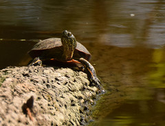 Painted Turtle (turn off your computer and go outside) Tags: 2016 gooseislandcountypark may turtle wi westernwisconsin clearday critter fallentree log nature outdoors reptile riverbank spring sunning water