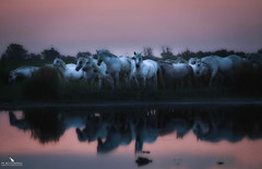 White Horses of the Camargue Before The Sunrise (pbmultimedia5) Tags: horse band france animal white wildlife pbmultimedia camargue regional nature park wetland delta rhone river
