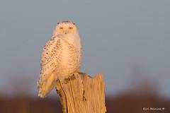 Catching the last rays (Earl Reinink) Tags: owl raptor winter bird earl reinink earlreinink nature naturephotography snowyowl ihrdhaadoa