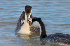 Hungry Mouthes (Amy Hudechek Photography) Tags: western grebe chick baby family feed dragonfly utah ngc