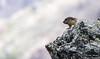 Die Murmeltiere (Marmota) Wildlife-Großglockner ©Arne Flemke (Arne Flemke-Gezeiten Photography) Tags: grosglockner murmeltier österreich